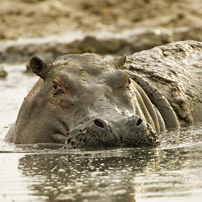 hippo in mud, eyeing your down jacket!